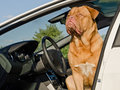 Dog driver sitting in the car Stock Images