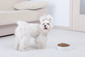 Dog and dry food little maltesewith his from a bowl in home Stock Image