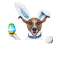 Dog easter bunny dressed up as with holding an colorful egg Royalty Free Stock Image