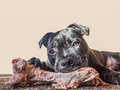 Dog eating a bone Royalty Free Stock Photo