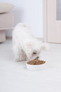 Dog eating dry food little maltese his from a bowl in home Royalty Free Stock Photo