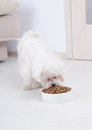 Dog eating dry food little maltese his from a bowl in home Stock Photography