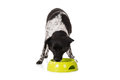 Dog Eating Food From Bowl Royalty Free Stock Photo