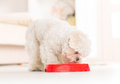 Dog eating food from a bowl little maltese his in home Royalty Free Stock Image