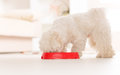 Dog eating food from a bowl little maltese his in home Royalty Free Stock Images