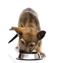 Dog eating food from dish. isolated on white backg Royalty Free Stock Photo