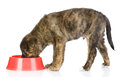 Dog eating food from red dish. Royalty Free Stock Photo