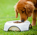 Dog eating his food Stock Image