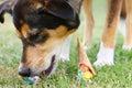 Dog Eating Ice Cream Cone on Ground Royalty Free Stock Photo
