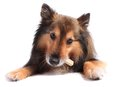 Dog eating treat or bone Royalty Free Stock Images