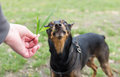 Dog eats grass from the hands. Royalty Free Stock Photo