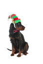 Dog with elf hat Royalty Free Stock Photos
