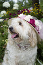 Dog enjoying flower garden golden doodle sitting in the day while wearing large floral sun hat Royalty Free Stock Photography