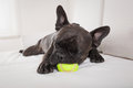 Dog exhausted after play french bulldog and tired a with ball or toy sleeping having a relaxing siesta in living room Royalty Free Stock Photos