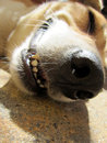 Dog face close up mouth and teeth short depth of field Stock Images