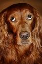 Dog feeling shame Royalty Free Stock Photo