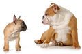 Dog fight french and english bulldog puppies sticking their tongues out at each other on white background Royalty Free Stock Image