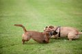Dog fight two dogs are playing on a grassland Stock Photos