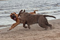 Dog figthing on the beach an olde english bulldog and american staffordshire terrier playing Stock Image