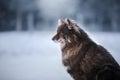 Dog Finnish Lapphund Breed
