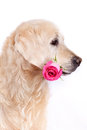 Dog with flower Stock Photos