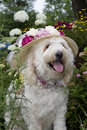 Dog in flower garden golden doodle sitting wearing large floral sun hat Stock Photos