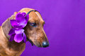 A dog with a flower on his head Royalty Free Stock Image