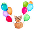 Dog flying in a basket with air balloons happy yorkie toy Royalty Free Stock Image