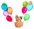 Dog flying in a basket with air balloons happy yorkie toy Royalty Free Stock Images
