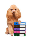 Dog with folders of documents isolated on white Royalty Free Stock Image
