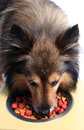 Dog with food bowl cute little sheltie or shetland sheepdog eating bits from Stock Image