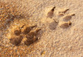 Dog footprint on the earth Royalty Free Stock Photo