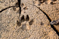 Dog footprints at the cracked ground. Royalty Free Stock Photo