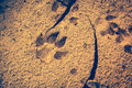 Dog footprints at the cracked ground. Vintage effect tone. Royalty Free Stock Photo