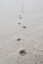 Dog footprints on sand beach the Stock Images