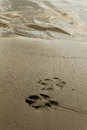 Dog footprints in sand side by side Royalty Free Stock Image