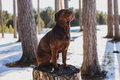 Dog in the forest brown female pedigreed sitting on a stump among snowy pinery on a sunny day Stock Image
