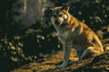 Dog at fourteen thousand feet in himalayas during the sunset Royalty Free Stock Photography