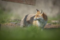 A dog fox looking back through a fence Royalty Free Stock Photo
