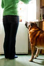 Dog and fridge hungry waiting for a meal refrigerator emit bright light Stock Image