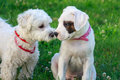 Dog friendship two puppies sniffing each other white dogo argentino Royalty Free Stock Photography