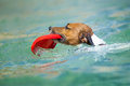 Dog frisbee catching a red and swimming in water Royalty Free Stock Image