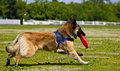 Dog frisbee competitions in running disk belgian shepherd at disc Stock Image
