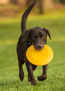 Dog frisbee with orange running Stock Image