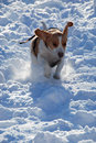 Dog in full speed enjoying the snow beagle running through glittering snowy park Stock Photography