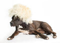 Dog in the fur cap american staffordshire terrier Royalty Free Stock Photo