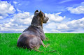 Dog gazing far lying on the grass and Stock Photography