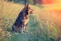Dog gazing sunset Royalty Free Stock Photo