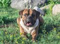 The dog is a German boxer brown with stripes, lies on the grass Royalty Free Stock Photo