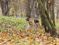 Dog, German shepherd in the autumn wood Stock Photos